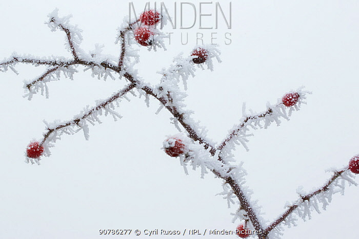 Dog rose (Rosa canina) twig with hips covered in heavy frost, Yonne, Burgundy, France, December.