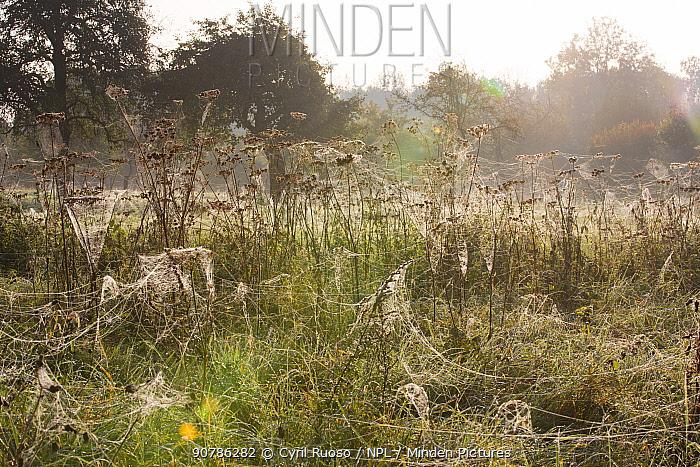 Spider (Araneae) webs on Umbellifers (Apiaceae) and other vegetation, Yonne, Burgundy, France, October.
