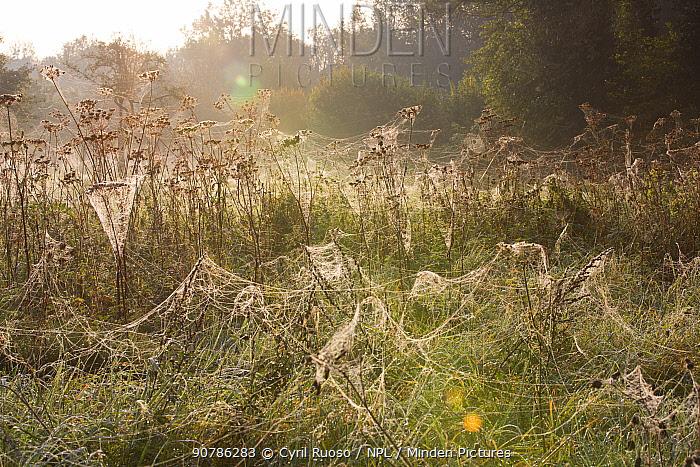 Spider (Araneae) webs on Umbellifers (Apiaceae) Yonne, Burgundy, France, October.