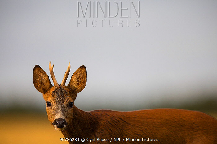 Roe deer (Capreolus capreolus) juvenile male in a field, Burgundy, France, July.