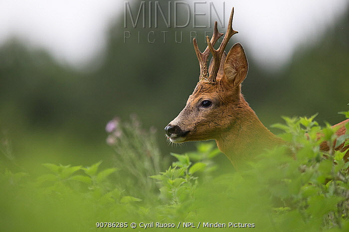 Roe deer (Capreolus capreolus) male amongst vegetation, Yonne, Burgundy, France, July.