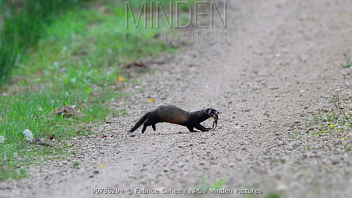 Polecat (Mustela putorius)  crossing track with frog prey in mouth,  Vosges, France, August.