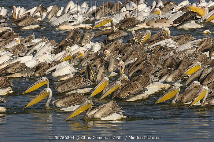 White pelicans (Pelecanus onocrotalus) feeding at fish farm, Mediterranean coast, Israel, November.