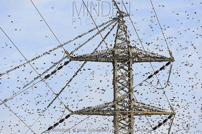 Pre-roost gathering of common starlings (Sturnus vulgaris) on an electricity pylon. Negev desert, Israel. January 2016.
