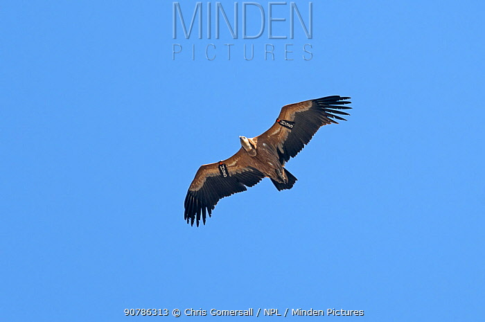 Eurasian griffon vulture (Gyps fulvus) adult in flight, and marked with wing tag, Gamla, Israel. November.