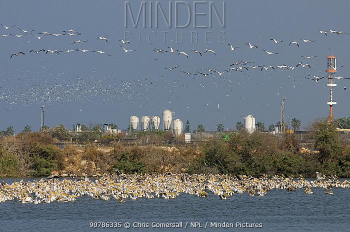 Flock of White pelicans (Pelecanus onocrotalus) feeding at Kibbutz Ma'agan Michael fish farm, Israel. November 2012.