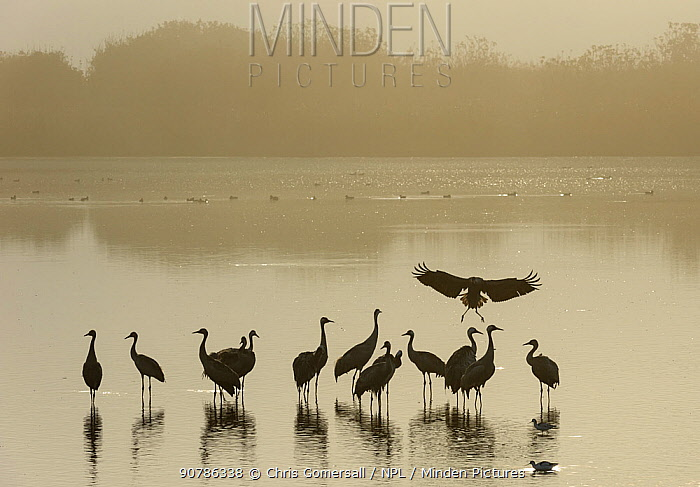 Flock of Common cranes (Grus grus)  at roost at dawn on a misty morning. Hula Valley, Israel. November