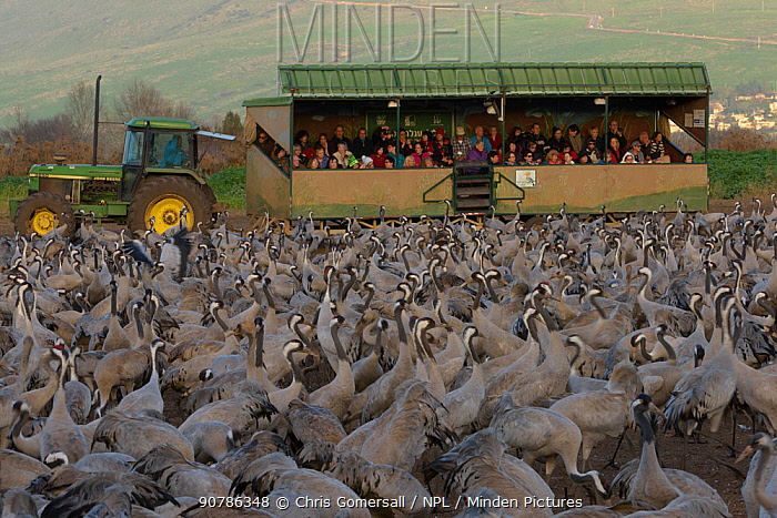 Tourists in a 'safari wagon' observing a flock of Common cranes (Grus grus) in the Hula Valley, Israel. January. The cranes are fed on maize kernels by a farmers' co-operative, to mitigate against crop damage.