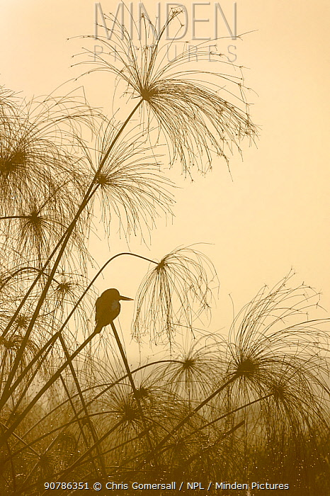 White-throated or Smyrna kingfisher (Halcyon smyrnensis) perched in papyrus sedge (Cyperus papyrus), and photographed against the morning sun. Hula Valley, Israel. January