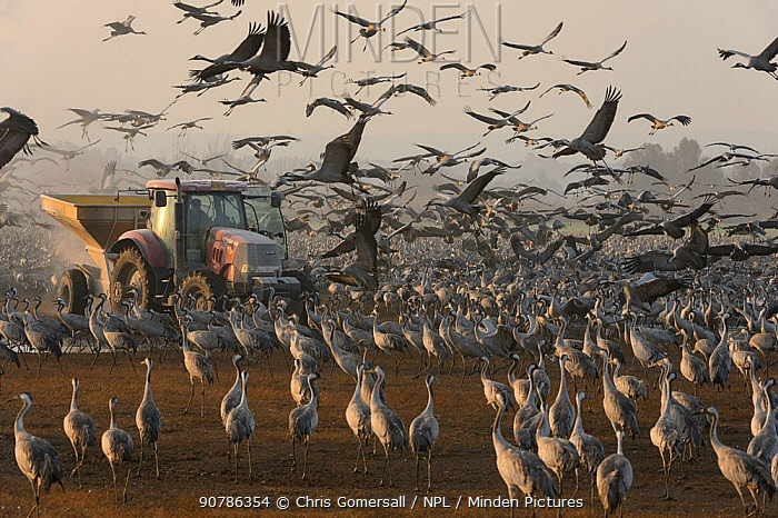 Flock of Common cranes (Grus grus) feeding in the Hula Valley, Israel. January. The cranes are being fed on maize kernels by a farmers' co-operative, to mitigate against crop damage.