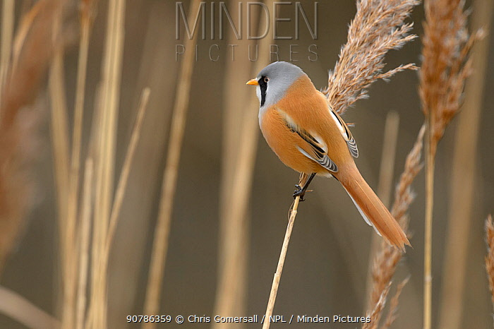 Bearded tit or bearded reedling (Panurus biarmicus) adult male perched on common reed (Phragmites australis). Norfolk, England. February