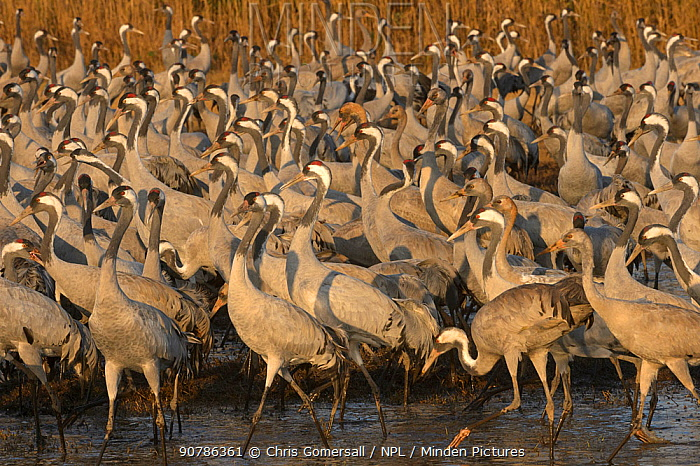 Flock of Common cranes (Grus grus) feeding in the Hula Valley, Israel. January. The cranes are fed on maize kernels by a farmers' co-operative, to mitigate against crop damage.