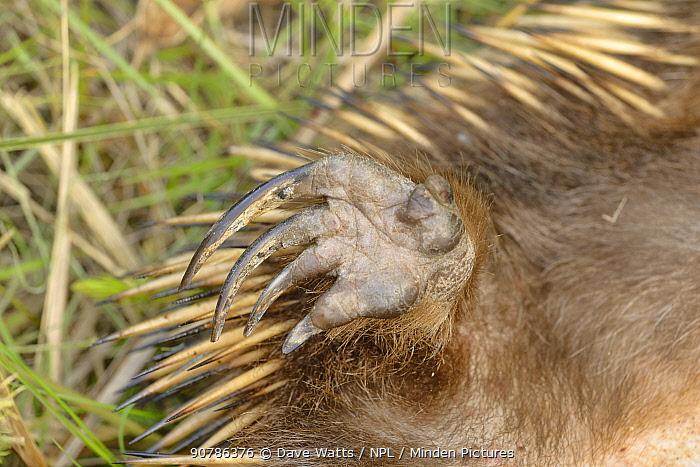Echidna (Tachyglossus aculeatus) close up of hind foot, Tasmania, Australia