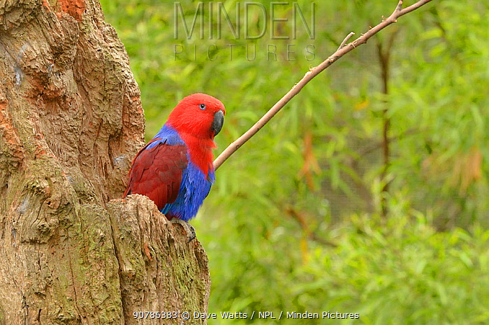 Eclectus parrot (Eclectus roratus) female at nest hollow, captive.