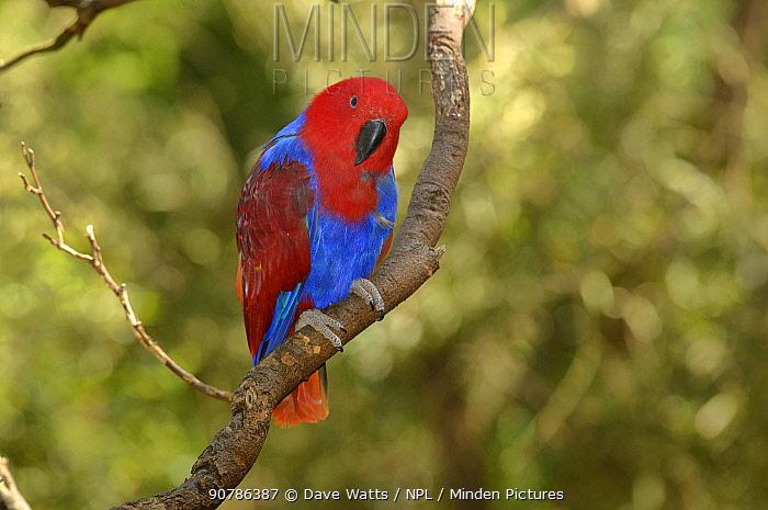 Eclectus parrot (Eclectus roratus) female, captive