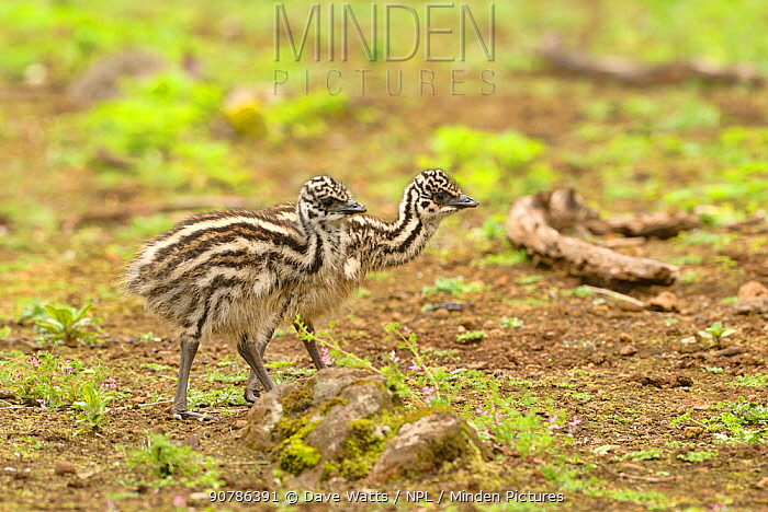 Emu (Dromaius novaehollandiae) chick, Victoria, Australia, October.
