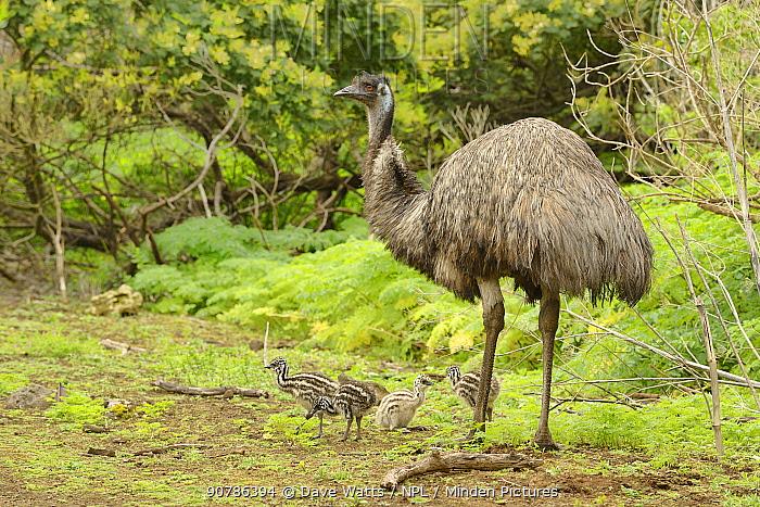 Emu (Dromaius novaehollandiae) male with chicks, Victoria, Australia
