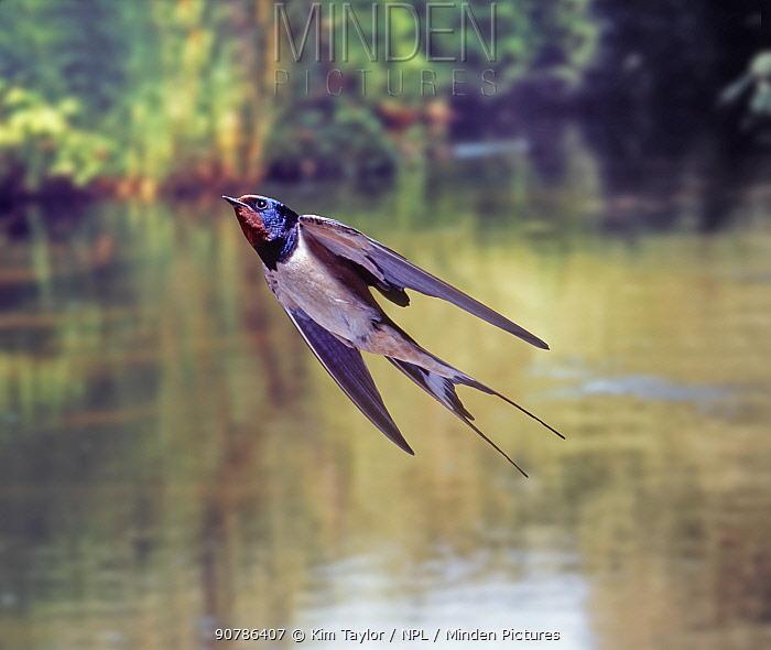 Barn Swallow (Hirundo rustica) bringing food to the nest. Surrey, England, Digital composite