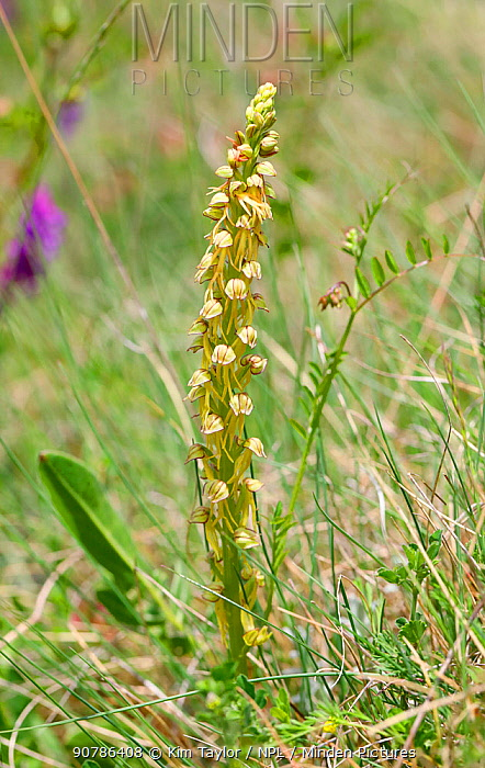 Man Orchid (Orchis anthropophora). Apennines, Italy, May.