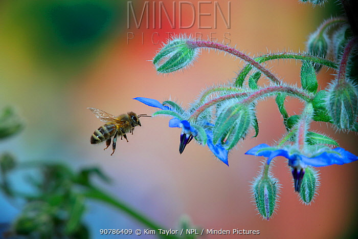 Honey Bee (Apis mellifera) worker visiting Borage (Borago officinalis) flowers. Surrey, England,