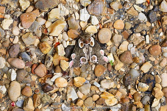 Peach blossom moth (Thyatira batis) showing disruptive camouflage on gravel. Surrey, England, UK, June.