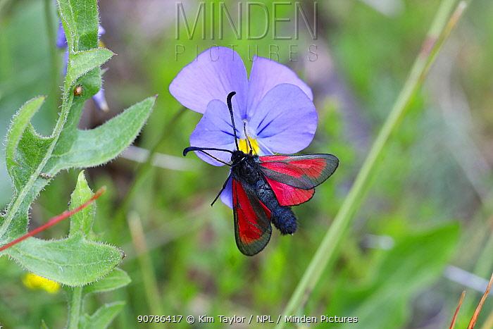 Transparent burnet moth (Zygaena purpuralis) on wild pansy. Apennines, Italy, May.