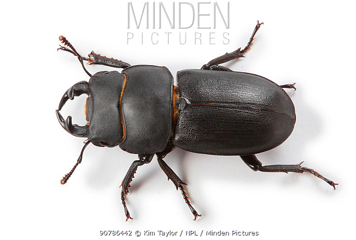 Lesser Stag Beetle (Dorcus parallelipipedus). Surrey, England, UK, Controlled conditions