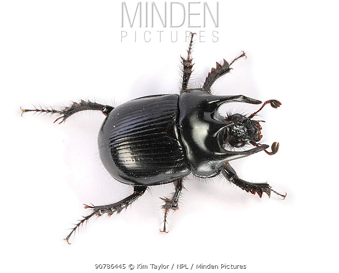 Minotaur Beetle (Typhaeus typhoeus) male. Surrey, England, Controlled conditions