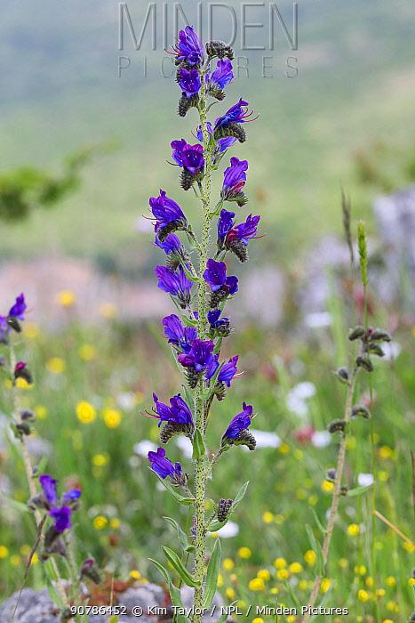 Viper's Bugloss (Echium vulgare). Apennines, Italy, May.