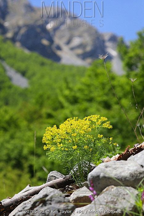 Cypress spurge (Euphorbia cyperissias), Apennines, Italy. Apennines, Italy, May.