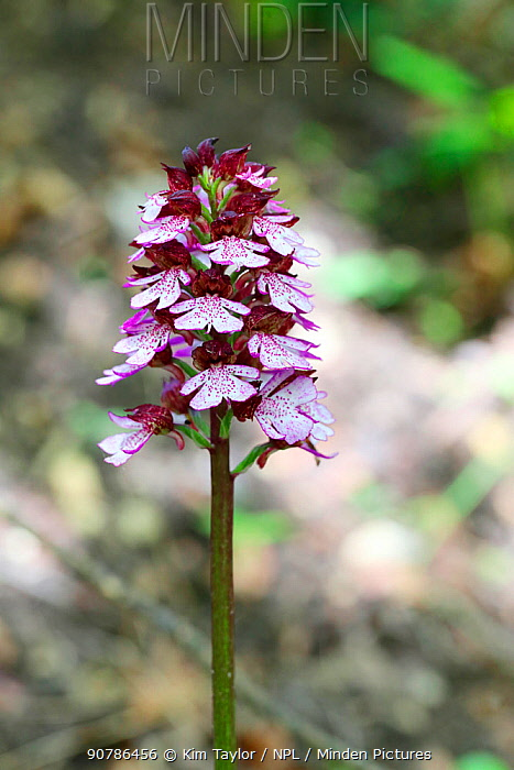 Lady orchid (Orchis purpurea) growing beside a chalk stream. Apennines, Italy, May.