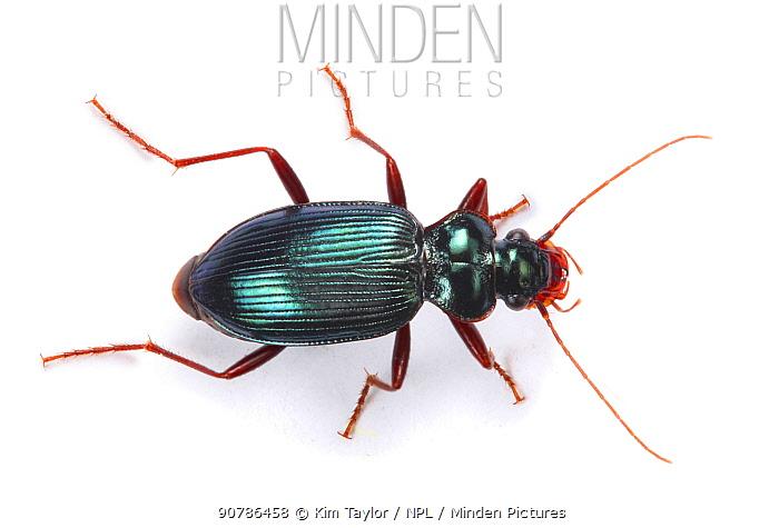 Ground beetle (Leistus spinibarbis). Surrey, England, Controlled conditions