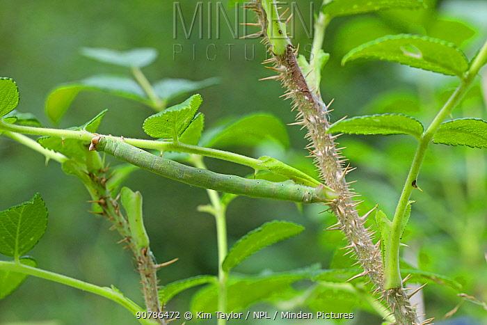 Swallow-tailed Moth (Ourapteryx sambucaria) caterpillar on Rose (Rosa rugosa). Surrey, England, UK, August.