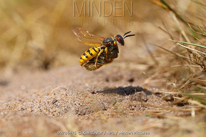 Bee-killer Wasp (Philanthus triangulum) approaching burrow with honey bee prey. Surrey, England, UK, July.