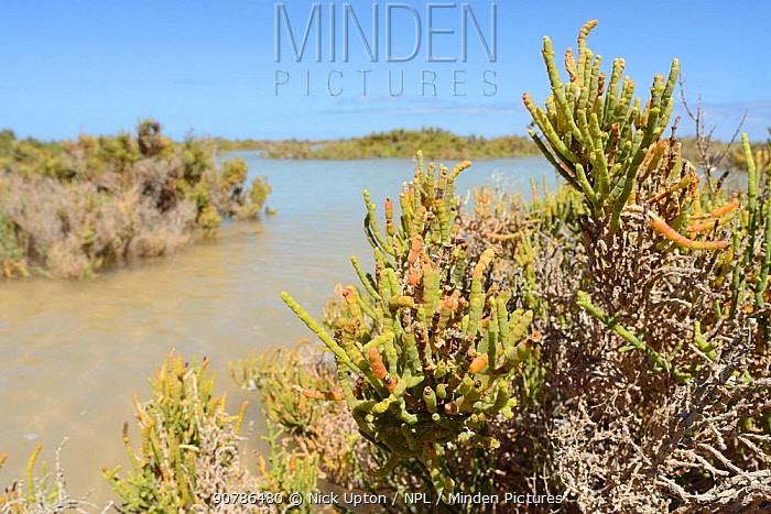 Glaucous glasswort (Arthrocnemum macrostachyum) bushes partly submerged by a high tide in a coastal lagoon, Sotavento, Fuerteventura, Canary Islands, May.
