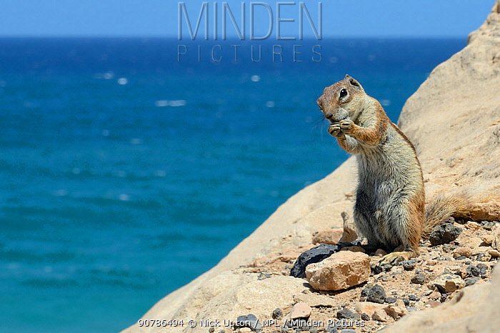 Barbary ground squirrel (Atlantoxerus getulus) on sea cliff edge with sea in the background, Fuerteventura, Canary Islands, May.