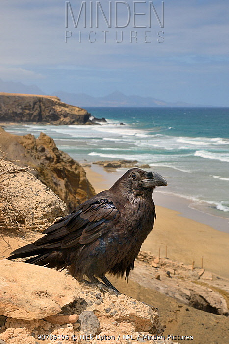 Canary Island Raven (Corvus corax tingitanus) adult perched on sea cliff edge with sea in the background, Fuerteventura, Canary Islands, May. This is the smallest subspecies of Raven, restricted to Morocco and the Canary Islands.