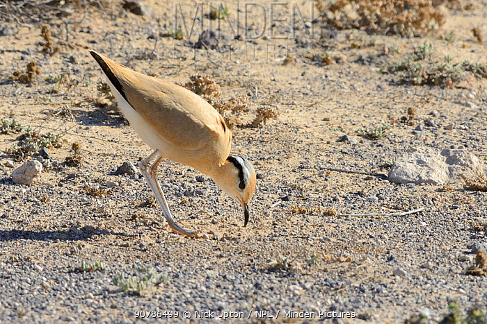 Cream-coloured courser (Cursorius cursor) bowing during courtship in steppe scrubland, Jandia Natural Park, Fuerteventura, Canary Islands, May.
