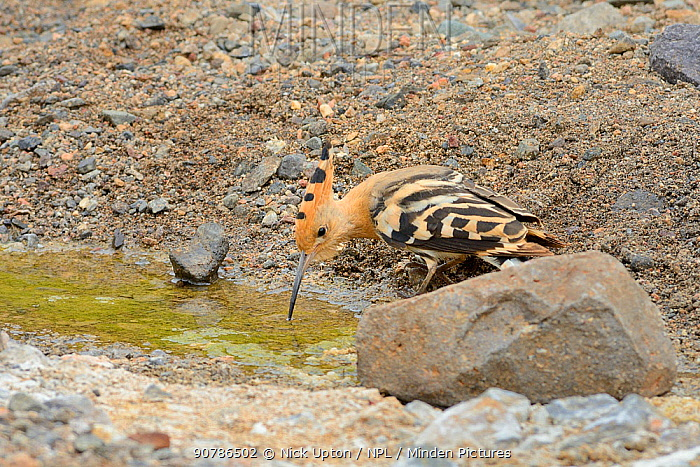 Hoopoe (Upupa epops), drinking from a rare water source, a small stream in the largely parched southwest part of the island, Fuerteventura, Canary Islands, May.