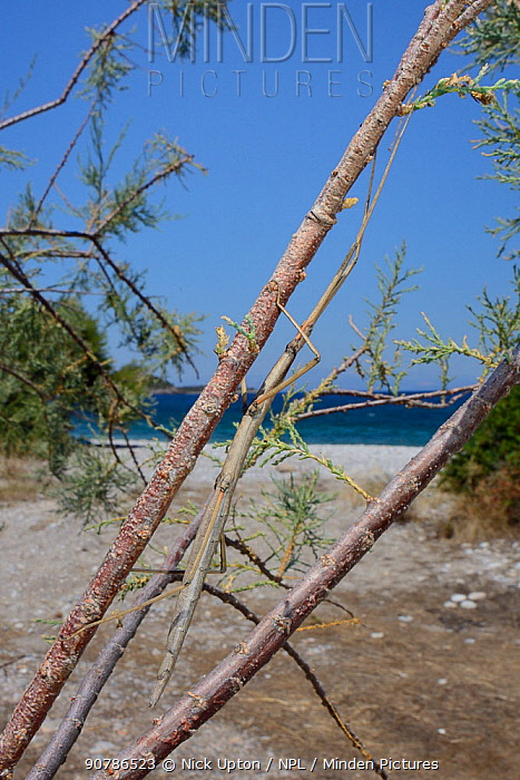 Stick insect (Bacillus atticus atticus), a coastal species of Southern Italy and Greece, in a Tamarisk tree (Tamarix sp.) growing behind a beach, near Astros, Arcadia, Peloponnese, Greece, July.
