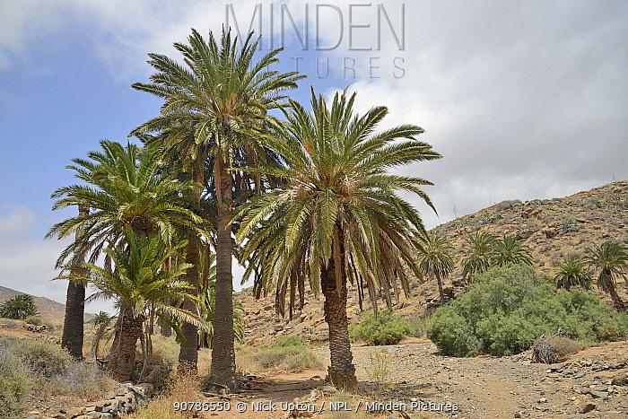 Canary island date palm trees (Phoenix canariensis) beside dry river bed, Vega de Rio Palmas, Fuerteventura, Canary Islands, June.