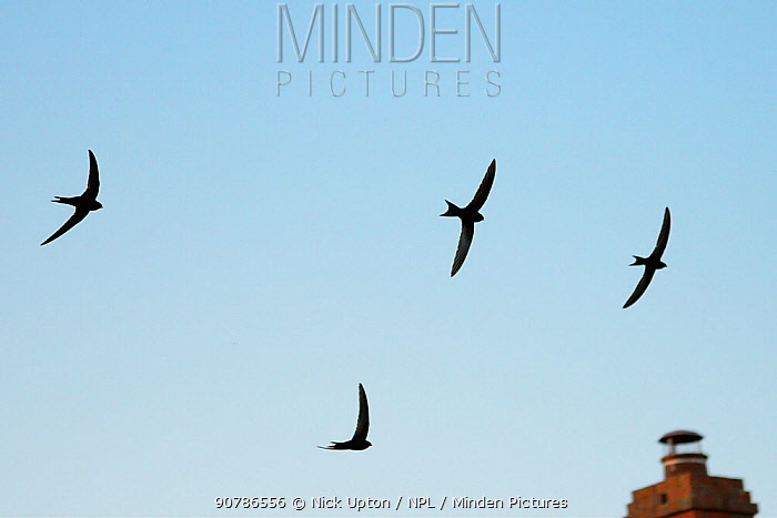 Four Common swifts (Apus apus) silhouetted against the sky as they fly in formation over the chimney of a cottage at dusk, Lacock, Wiltshire, UK, June 2018.