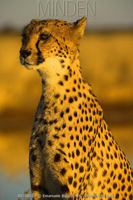 African cheetah (Acinonix jubatus) adult female, Nambia. Captive rescued individual.