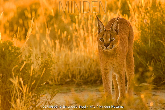 Caracal (Caracal caracal) in sunrise light, Namibia. Captive rescued individual