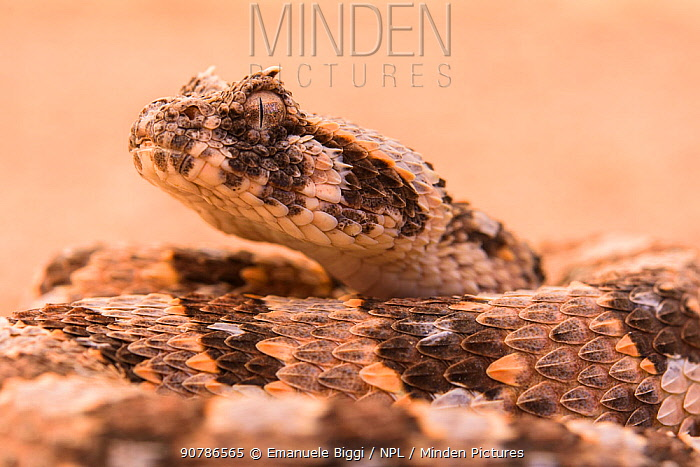 Horned adder (Bitis caudalis) portrait of a male individual, Namibia
