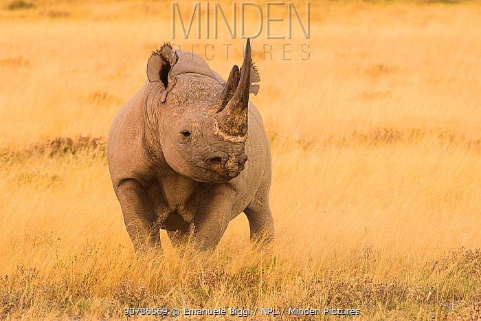 Black rhino (Diceros bicornis) in dry grasses, Etosha National Park, Namibia