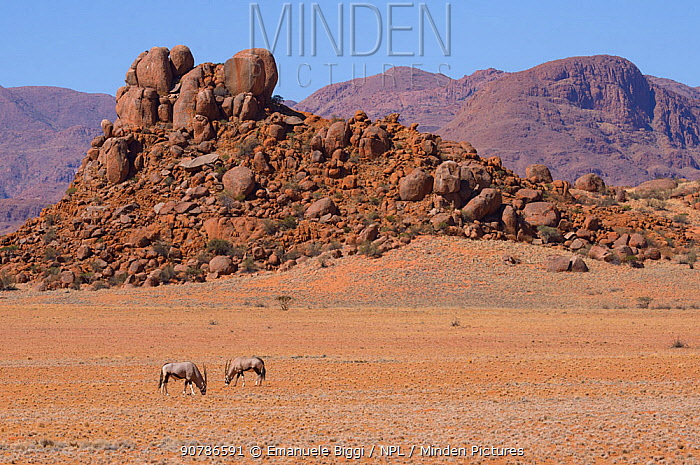 Gemsbok or South African oryx (Oryx gazella) grazing low dry vegetation, Namaqua, Namib desert, Namibia