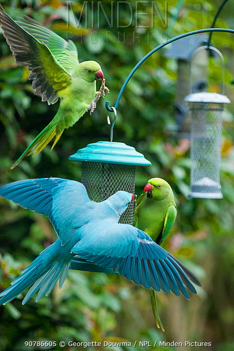 Rose-ringed or ring-necked parakeet (Psittacula krameri), blue mutation squabbling with normal coloured parakeet on bird feeder in garden.  London, UK.  The blue bird is ringed, possibly an escapee from the pet trade or a release.