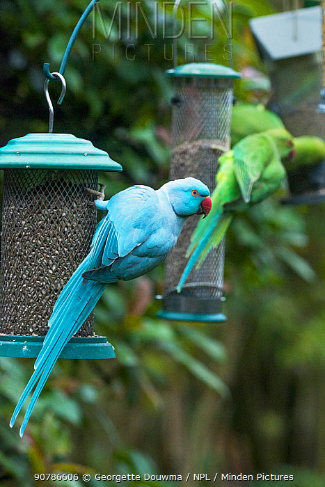 Rose-ringed or ring-necked parakeet (Psittacula krameri), blue mutation on bird feeder in garden, with normal coloured parakeet in background.  London, UK.  The blue bird is ringed, possibly an escapee from the pet trade or a release.