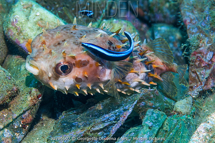 Orbicular burrfish or Shortspine porcupinefish (Cyclichthys orbicularis) with a Bluestreak cleaner wrasse ( Labroides dimidiatus)  Ambon, Indonesia.